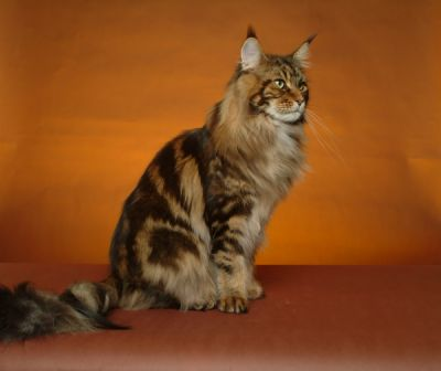 Prix d'un maine coon en france